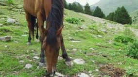 Beautiful brown arabian horse grazing on high mountain. Beautiful brown arabian horse grazing on high Pyrenees mountain stock video footage
