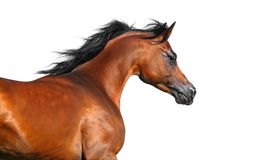 Beautiful brown arabian horse isolated on white. Portrait of beautiful brown arabian horse in motion isolated on white Royalty Free Stock Images