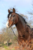 Beautiful brown arabian horse with show halter. In autumn stock image