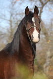 Beautiful brown arabian horse with show halter. In autumn stock photography