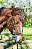 Beautiful brown arabian horse with show halter. In the forest royalty free stock photos