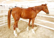 A beautiful brown arabian horse with white foots Royalty Free Stock Photo