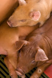 Beautiful brown babies pigs Stock Photography