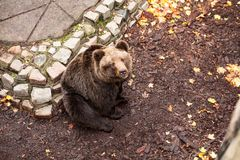 A beautiful brown bear sits looking up in the zoo of Kaliningrad stock image