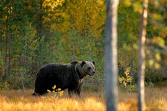 Beautiful brown bear walking around lake with fall colours. Bear hidden in yellow forest. Autumn trees with bear. Dangerous animal royalty free stock image