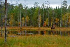 Beautiful brown bear walking around lake with fall colours. Dangerous animal in nature wood, meadow habitat. Wildlife habitat from royalty free stock photo