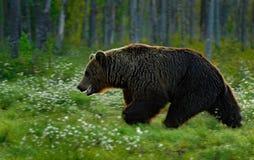 Beautiful brown bear walking around lake in the morning sun. Dangerous animal in nature forest and meadow habitat. Wildlife scene Stock Image