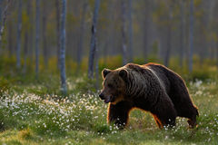 Beautiful brown bear walking around lake in the morning sun. Dangerous animal in nature forest and meadow habitat. Wildlife scene Royalty Free Stock Image