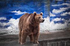 Beautiful Brown bear Royalty Free Stock Photos
