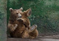 Beautiful Brown bear Stock Photos