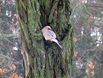 A beautiful, brown bird sits on a tree in cold weather. royalty free stock photos