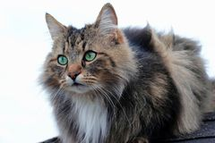 A beautiful brown-black Norwegian Forest Cat with green-turquoise eyes.  Stock Photos