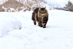 A beautiful brown-black Norwegian Forest Cat walks through the snow.  stock photos