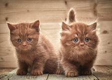 Beautiful brown british kittens Stock Image