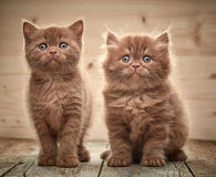 Beautiful brown british kittens Royalty Free Stock Images