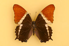 Beautiful brown butterfly royalty free stock photography
