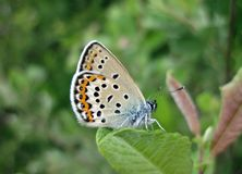 Brown butterfly on beautiful flower, Lithuania Royalty Free Stock Images