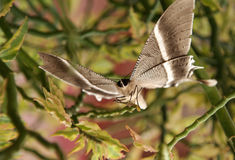 Beautiful brown butterfly ready to fly royalty free stock photography