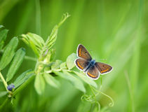 Beautiful brown butterfly on spring grass Royalty Free Stock Photography