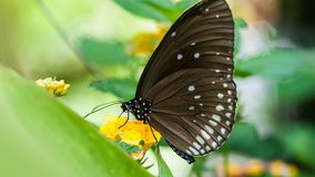 Beautiful brown butterfly sucks nectar from the flower royalty free stock photos
