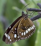 Brown Butterfly With White Markings On A Branch. A beautiful brown butterfly with white markings sitting on a branch.  Close up macro image showing lots of Royalty Free Stock Photography