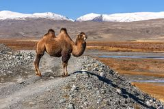 Camel road mountains graze. A beautiful brown camel stands on a gravel road against a background of snow-capped mountains in autumn Stock Images