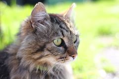 Beautiful brown cat with green eyes.  Stock Photo