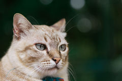 Beautiful brown Cat with grey Eyes. Royalty Free Stock Photo