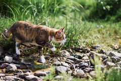 The beautiful brown cat hunts in a green grass. As in the jungle. Stock Images