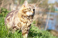 Beautiful brown cat Stock Photography