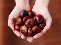 Beautiful brown chestnuts in the woman hands. Photo of beautiful brown chestnuts in the woman hands royalty free stock images
