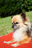Beautiful brown chihuahua Royalty Free Stock Image