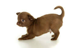 Beautiful brown chihuahua puppy Royalty Free Stock Images