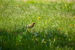 A beautiful, brown common starling female feeding in the grass before migration. Adult bird in park. In Latvian, Northern Europe royalty free stock image