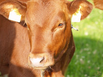 Beautiful brown cow (1) Stock Photos