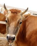 A beautiful brown cow Royalty Free Stock Photo