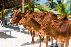 Beautiful brown cows on african beach, Zanzibar Royalty Free Stock Photos