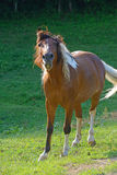 Beautiful brown curious horse with white mane and tail. Stock Photos