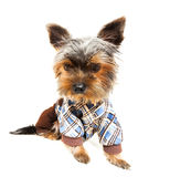Beautiful brown cute Yorkshire Terrier in pullover Royalty Free Stock Photos