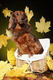 Dachshund on the background with falling autumn leaves. Beautiful brown Dachshund in a basket on the background with falling autumn leaves stock photo