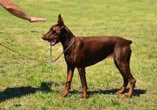Beautiful brown Doberman Pinscher Royalty Free Stock Images