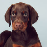 Beautiful brown Doberman puppy sitting on blue background in the Stock Photo