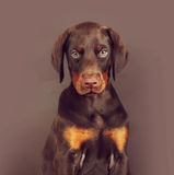 Beautiful brown Doberman puppy sitting on brown background in th Royalty Free Stock Images