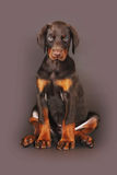 Beautiful brown Doberman puppy sitting on brown background in th Royalty Free Stock Photo