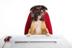 Beautiful brown dog as a chef. At the desk stock images