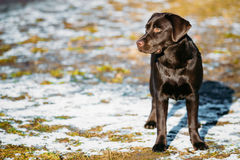 Beautiful Brown Dog Lab Labrador Retriever Stock Images