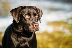 Beautiful Brown Dog Lab Labrador Retriever Royalty Free Stock Image