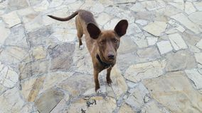 Dog. A beautiful Brown dog looking at the camera Stock Image