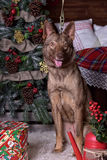 Beautiful brown dog on New Year's background Royalty Free Stock Photos