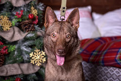 Beautiful brown dog on New Year's background Stock Image